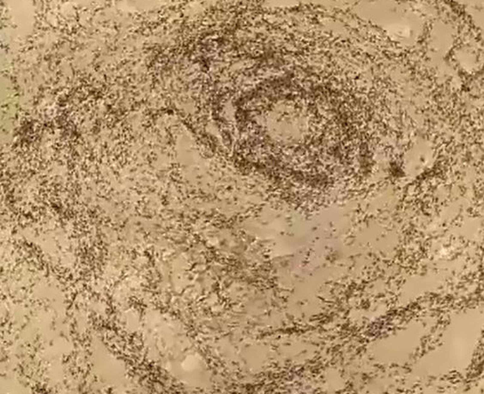 Círculo da morte de formigas