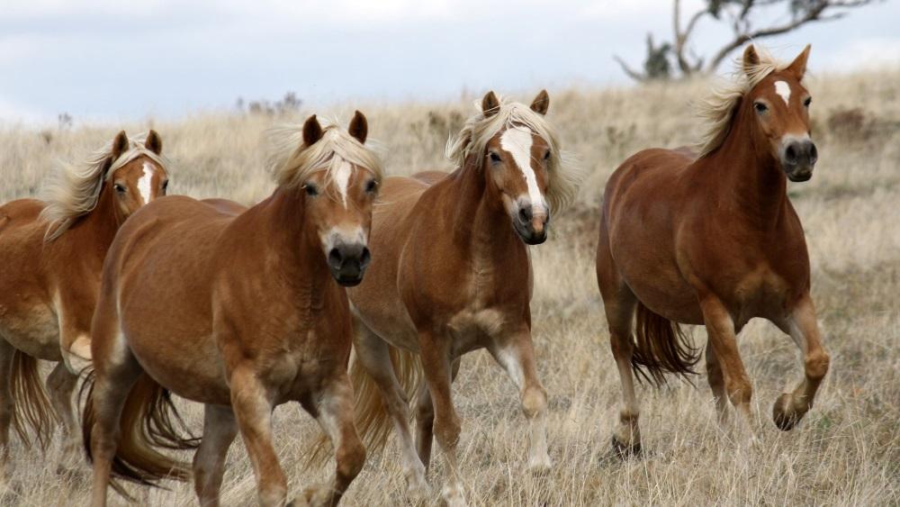 Cavalos galopando