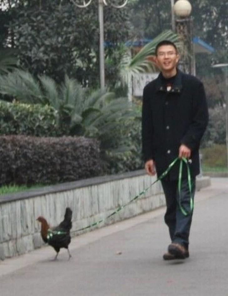 Homem passeando com galinha
