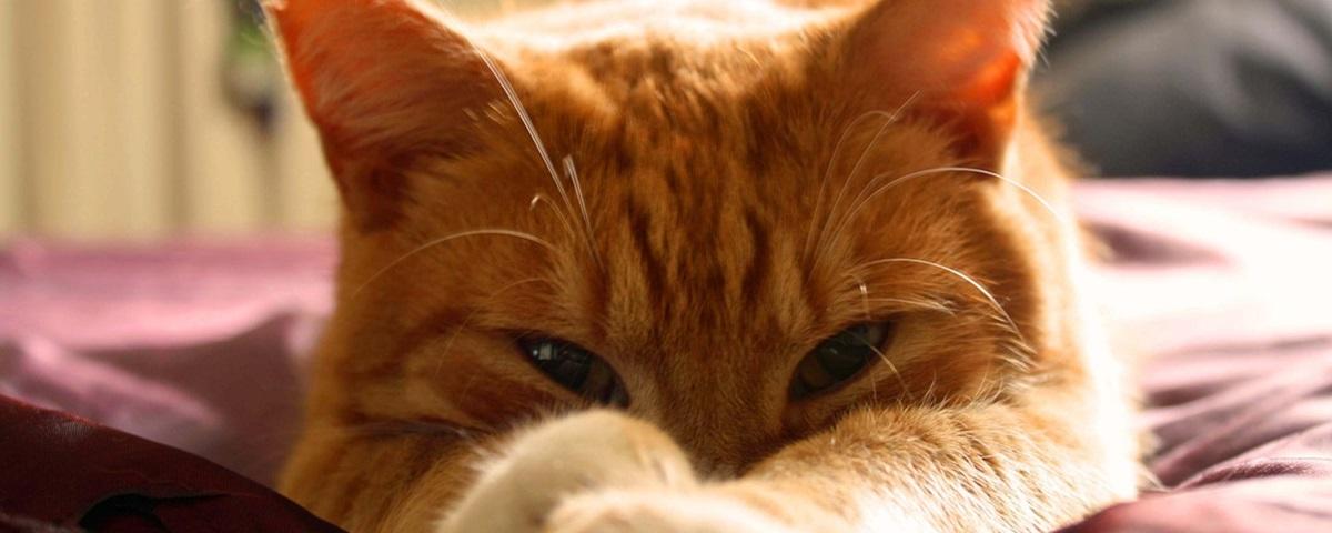Cientistas criam nova vacina para alergia a gatos