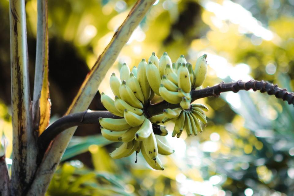 Bananapocalipse: fungo que pode dizimar plantações chegou à América Latina
