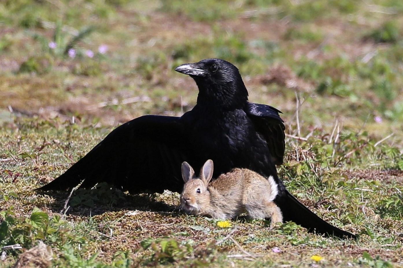 É corvo ou coelho? Imagem confusa está dividindo as opiniões na internet