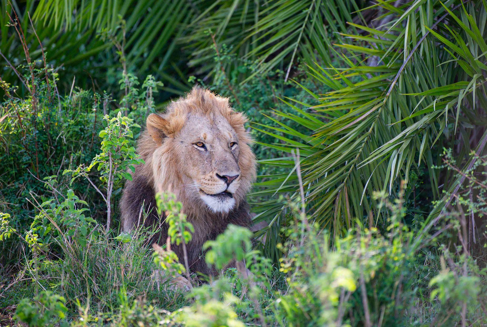 leão na selva