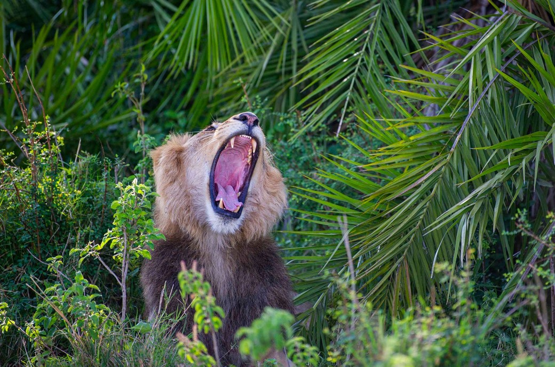 leão rugindo