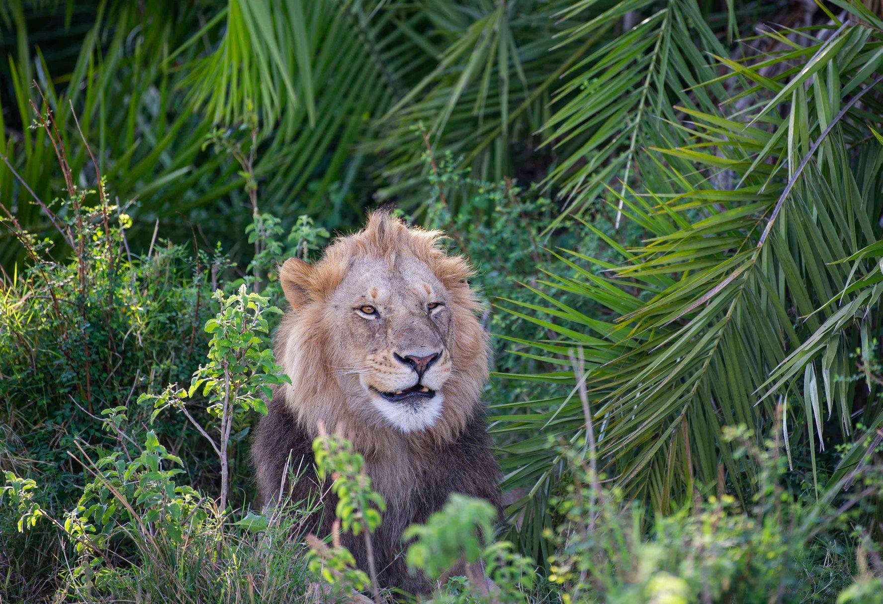 leão sorrindo