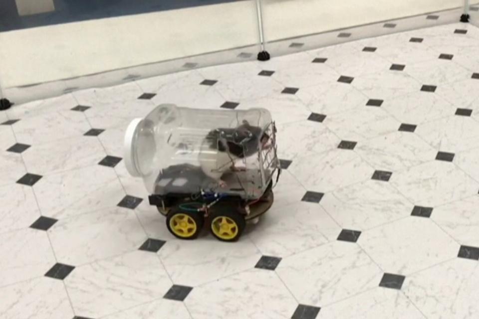 Ratos de laboratório aprendem a dirigir minicarros em estudo