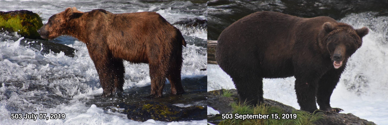 antes e depois de um urso