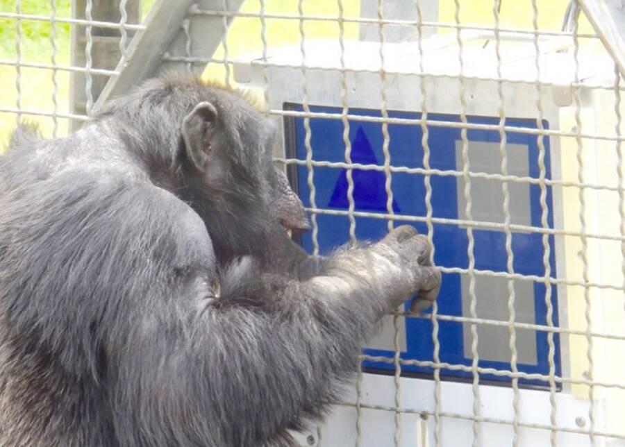 macaco participante do experimento