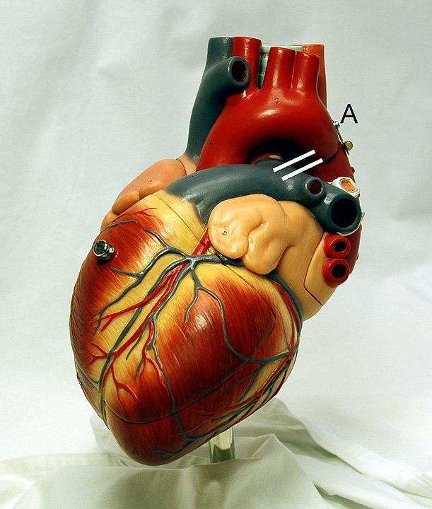 modelo de coração humano