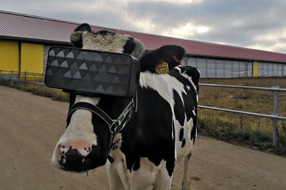 Vacas estão usando headsets VR na Rússia – entenda