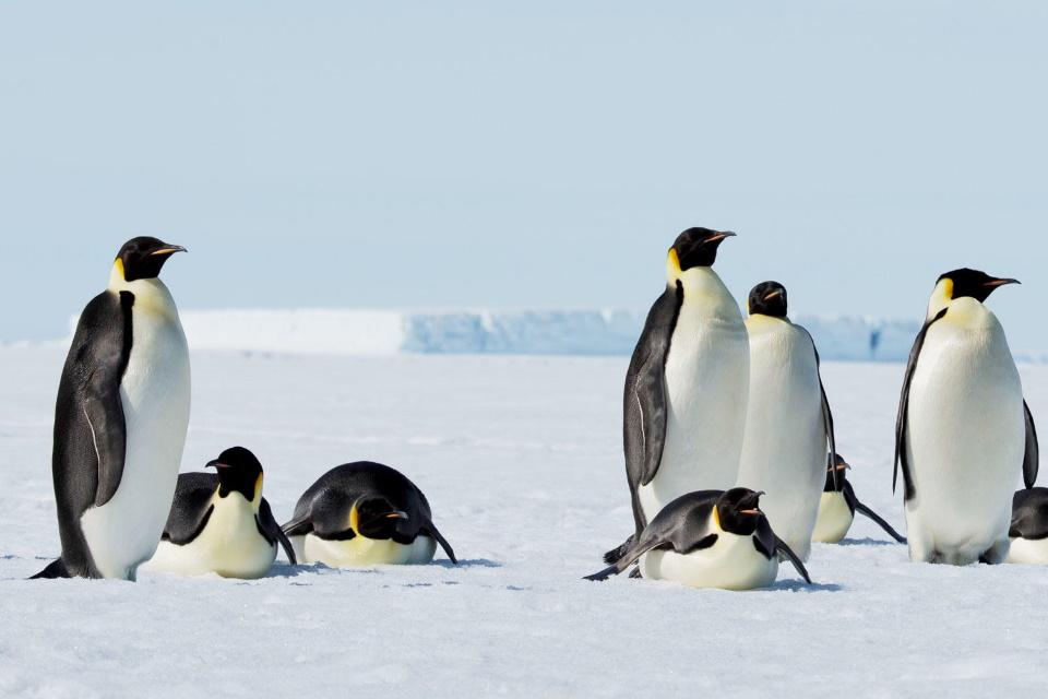 Pinguins podem ajudar a prever efeitos das mudanças climáticas