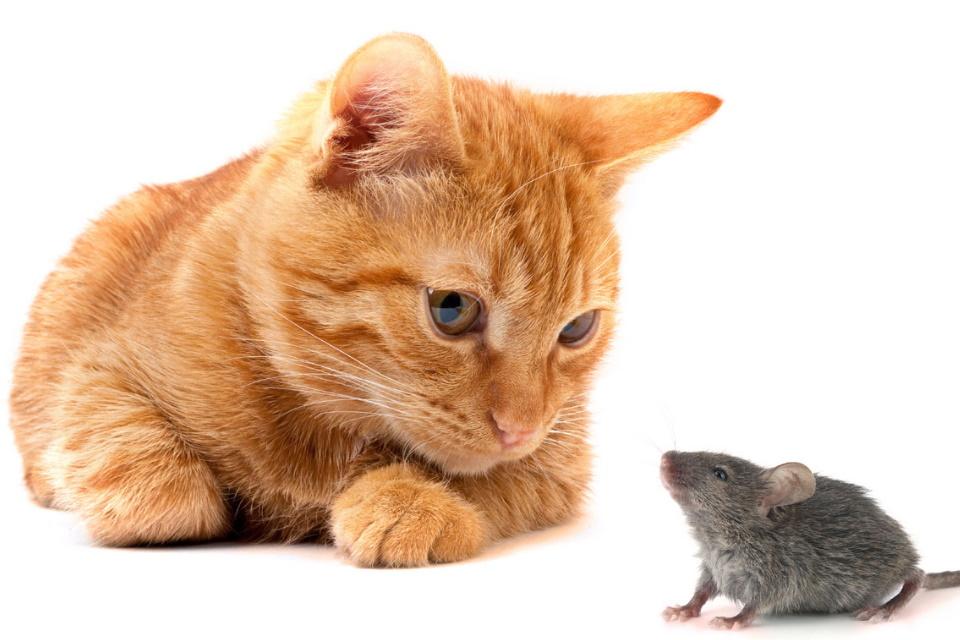 """Como parasita converte ratos em """"Cavalos de Troia"""" para infectar gatos"""