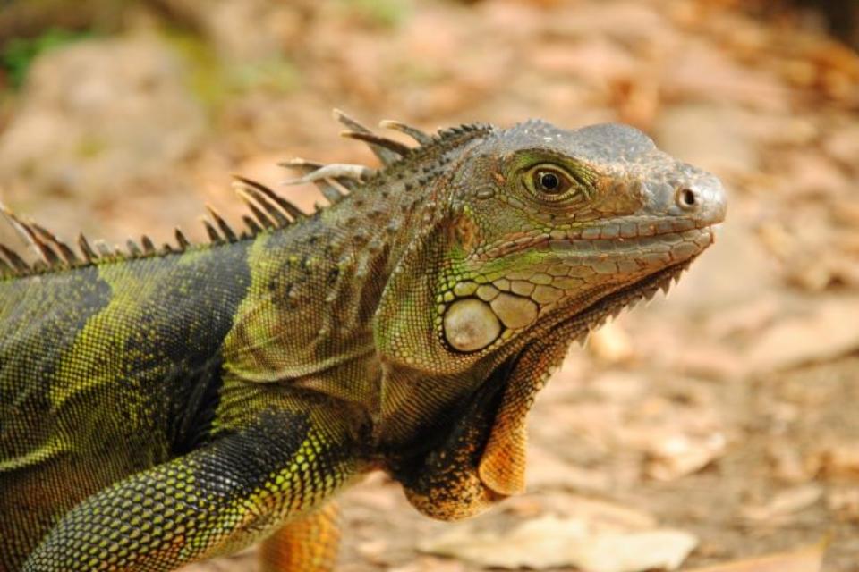 """Iguanas congeladas estão """"caindo do céu"""" na Flórida"""