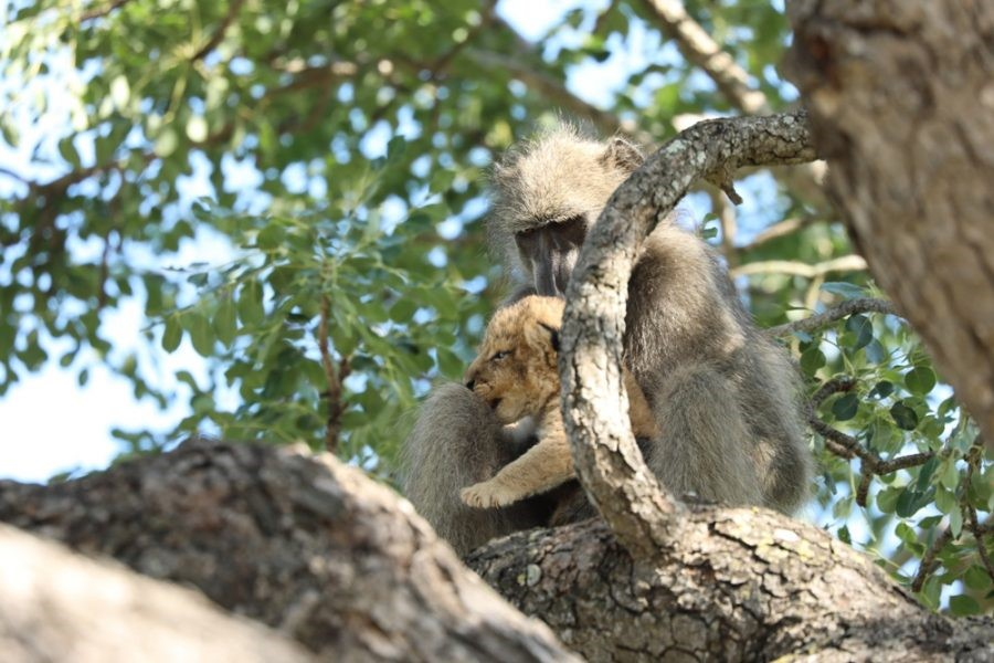 https://www.sapeople.com/2020/02/03/baboon-captures-and-grooms-lion-cub-in-heartbreaking-kruger-photos/