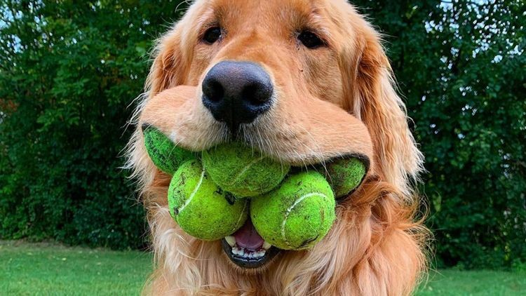 https://www.odditycentral.com/animals/adorable-pooch-breaks-world-record-for-most-tennis-balls-in-dogs-mouth.html