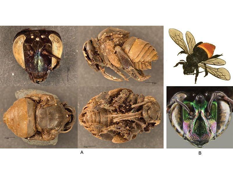 abelhas mumificadas
