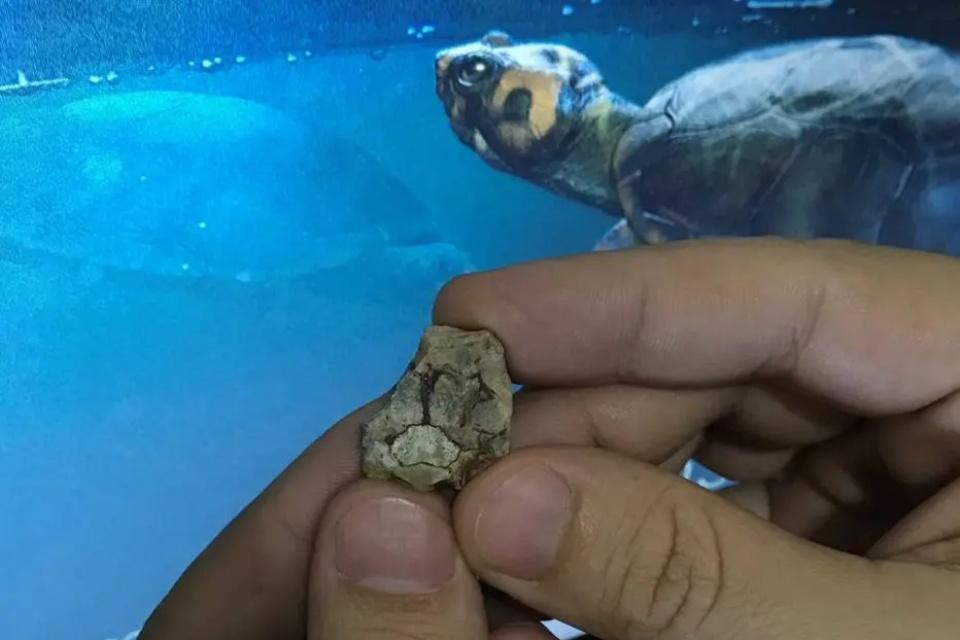 Tartaruga que viveu entre dinossauros tem fóssil encontrado em SP