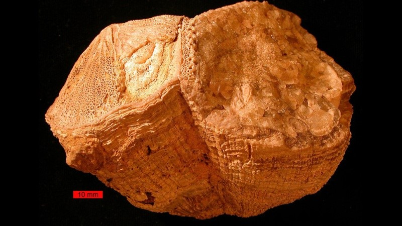 Fóssil utiizado na descoberta