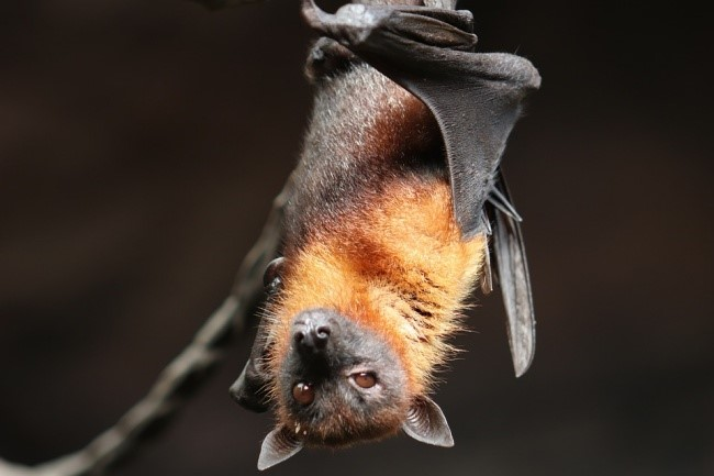 O vírus pode ter se desenvolvido a partir de hospedeiros como o morcego.