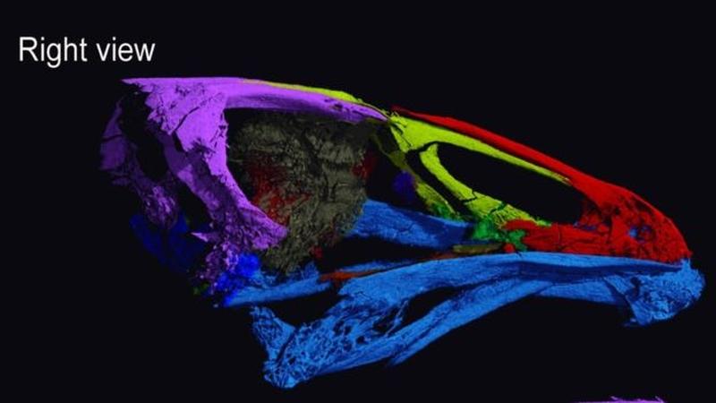 Imagem computadoriza do crânio da ave