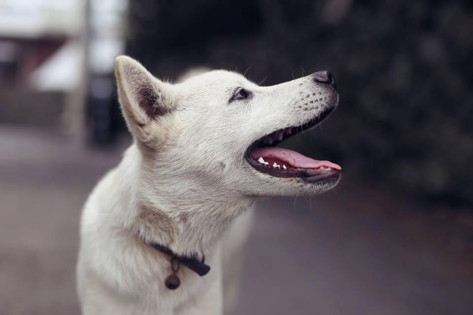Cachorros estão sendo treinados para detectar covid-19