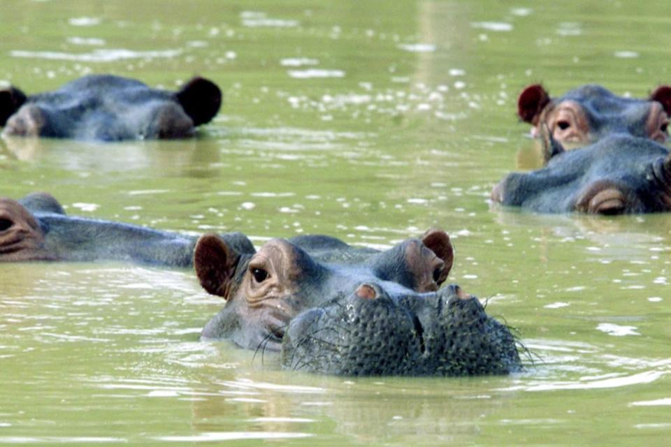 Hipopótamos de Pablo Escobar estão reconstruindo a natureza local