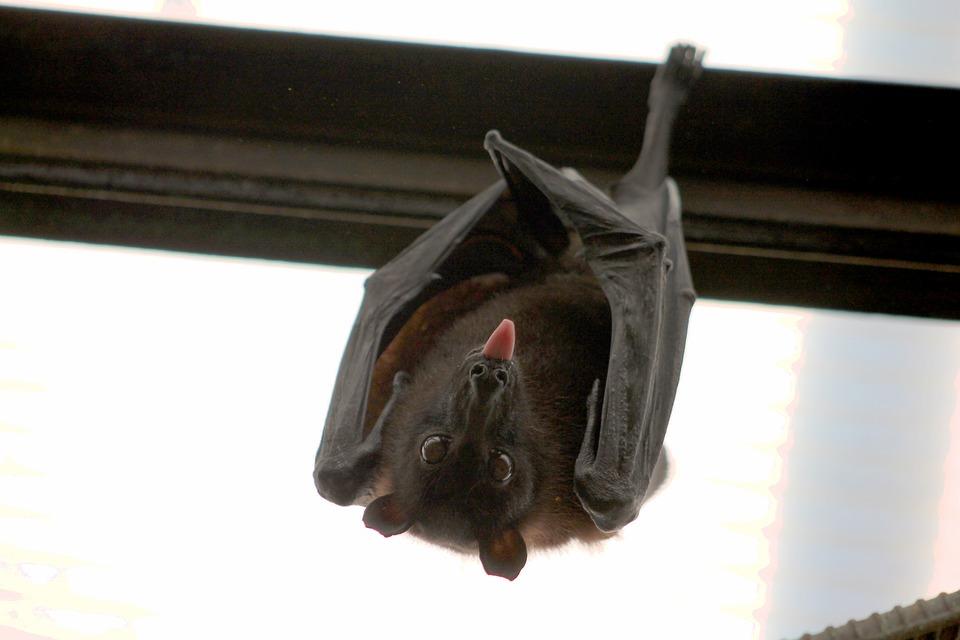 Morcegos-vampiros dão beijo de sangue para fazer amizade