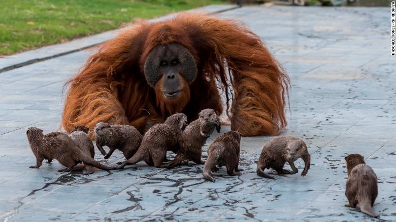(Fonte: Pascale Jones/Pairi Daiza Zoo/Reprodução)