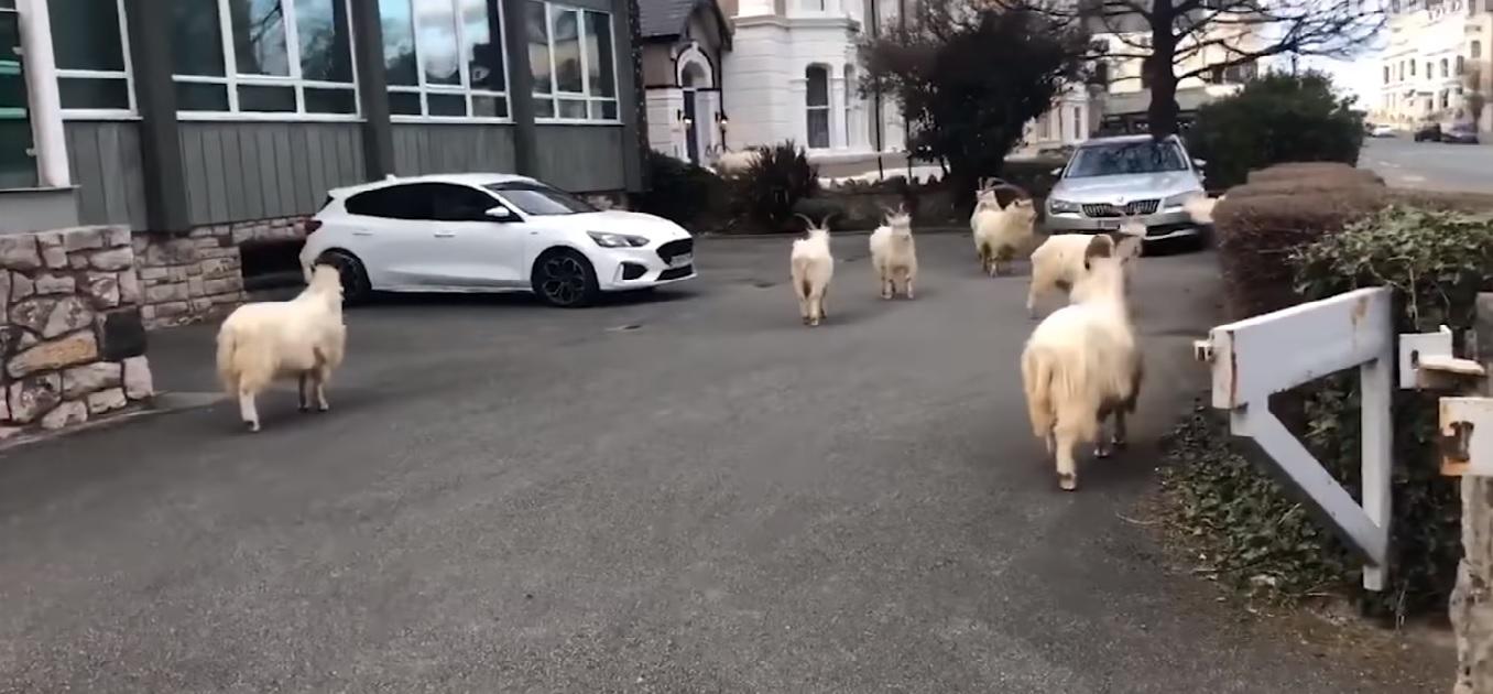 Com ruas vazias, cabras aproveitaram para explorar quintais, jardins e toda a cidade