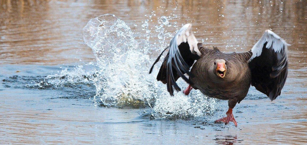 Será que a agressividade dos gansos é uma vingança por esta sugestão? (Fonte: Pixabay/Reprodução)