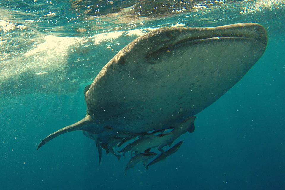 Tubarões-baleia podem viver cerca de 100 anos