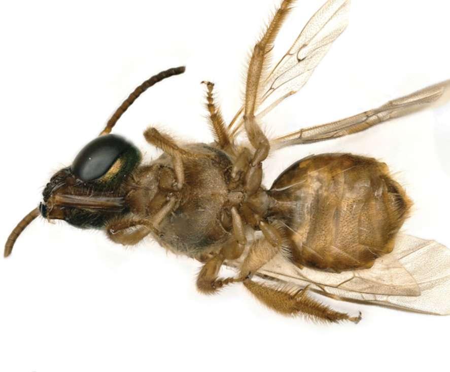 (Fonte: Erin Krichilsky et al/Journal of Hymenoptera Research/Reprodução)