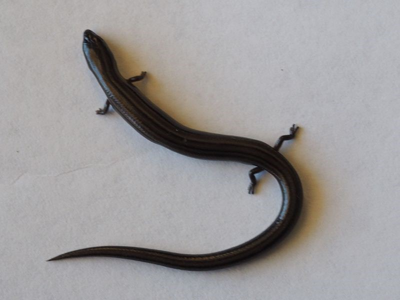 Espécie de lagarto skink de três dedos