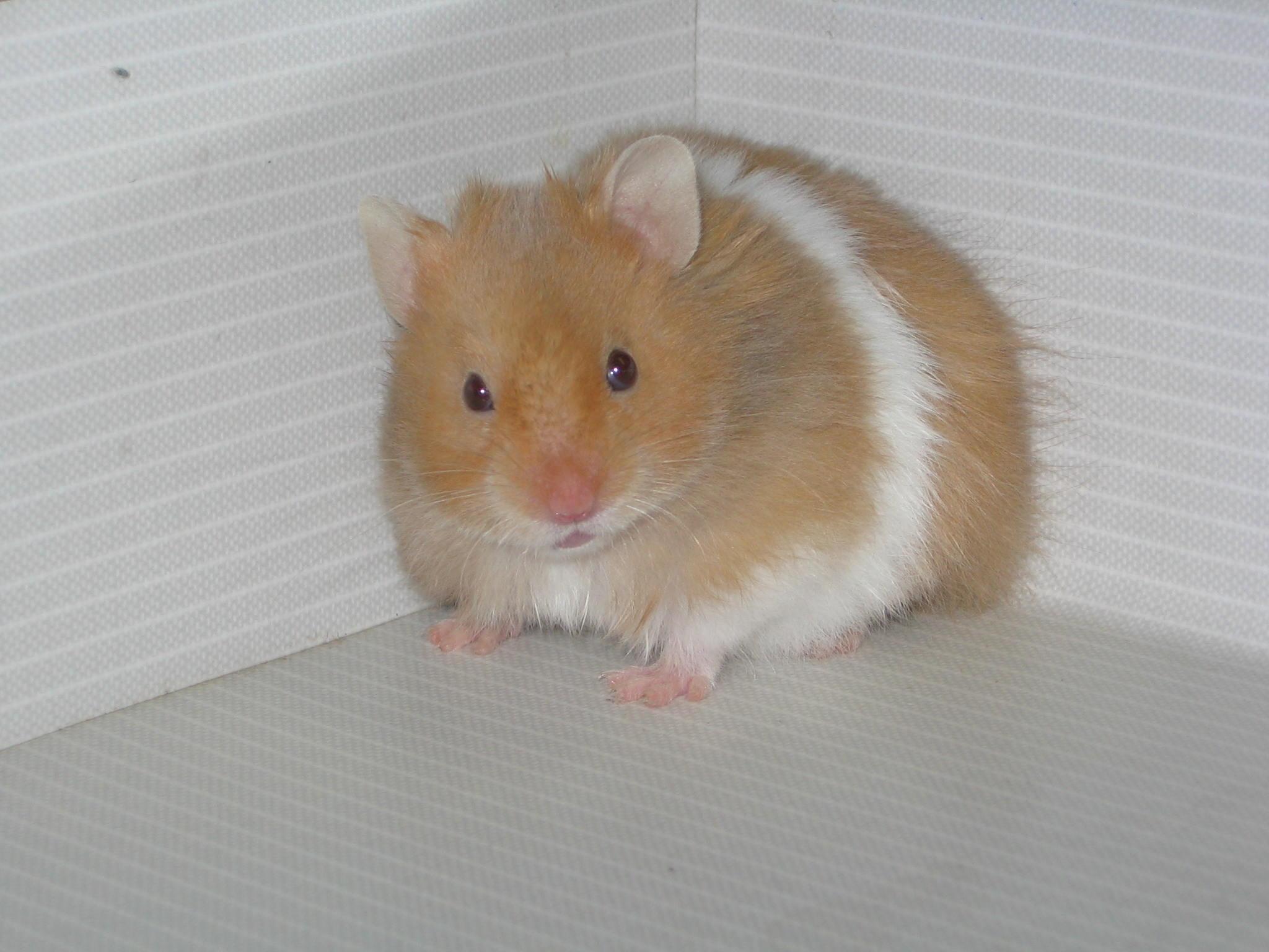 O hamster-sírio apresenta os mesmos efeitos que os humanos ao contrair covid-19. (Fonte: Wikimedia Commons / Divulgação)