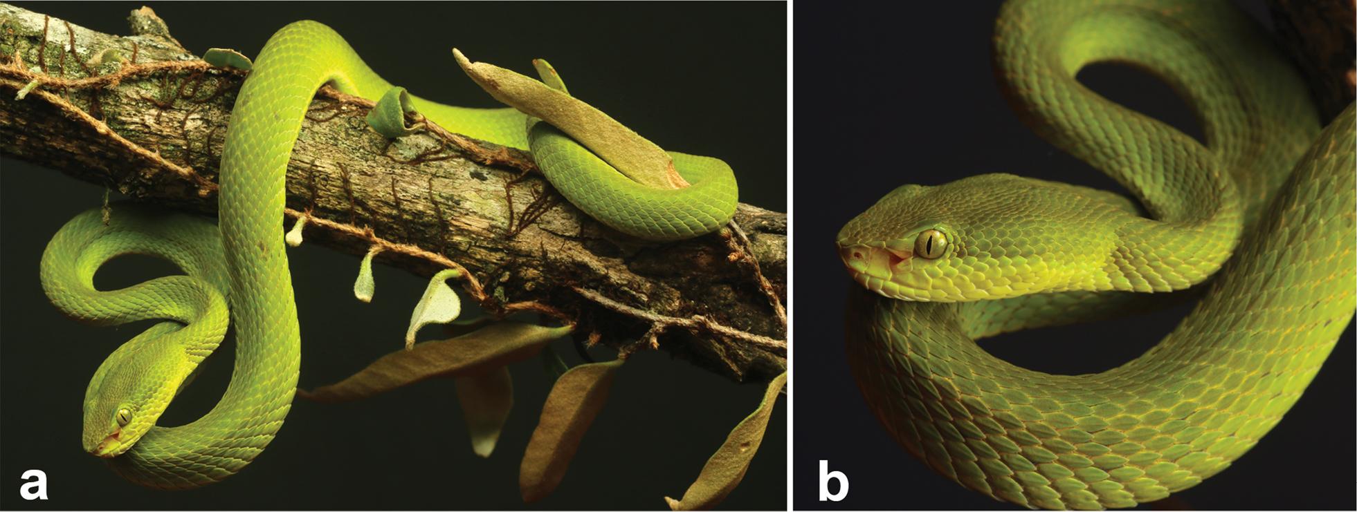 Trimeresurus salazar from western Arunachal Pradesh, India. Zoosystematics and Evolution