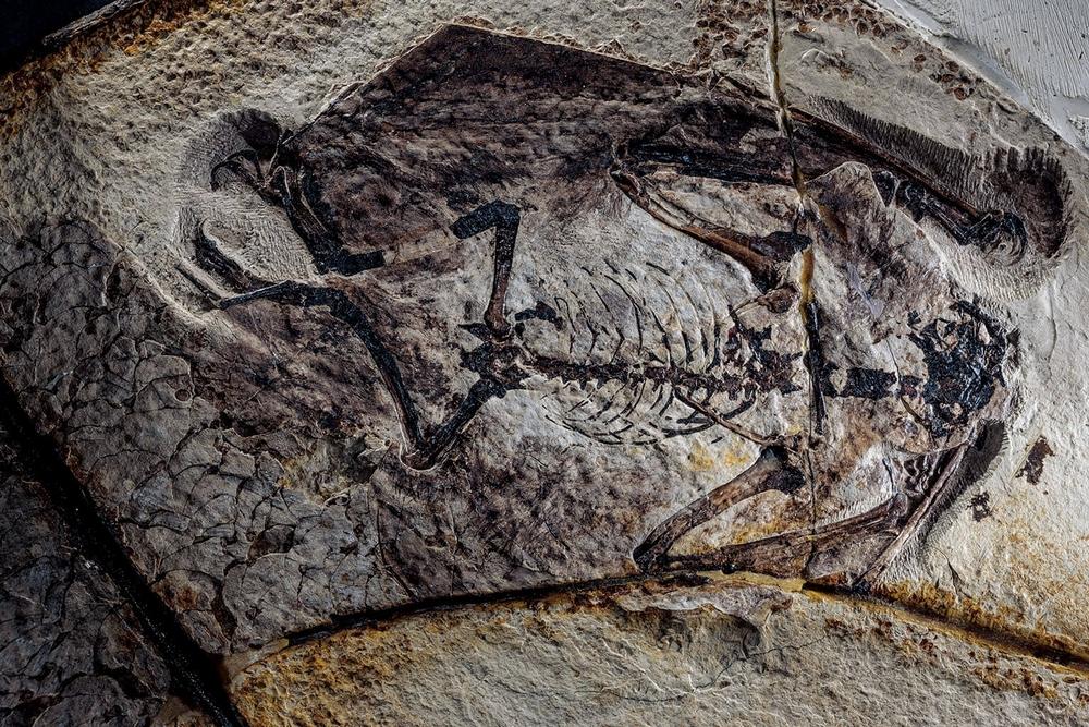 Esse fóssil de um Jeholopterus mostra vestígios do que seria penugem, o que sugere que pterossauros mais evoluídos teriam sangue quente.