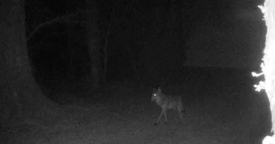 Segundo especialistas, a imagem capturada pode ser a de um lobo cinzento. (Fonte: Céline David Desjardins / Reprodução)