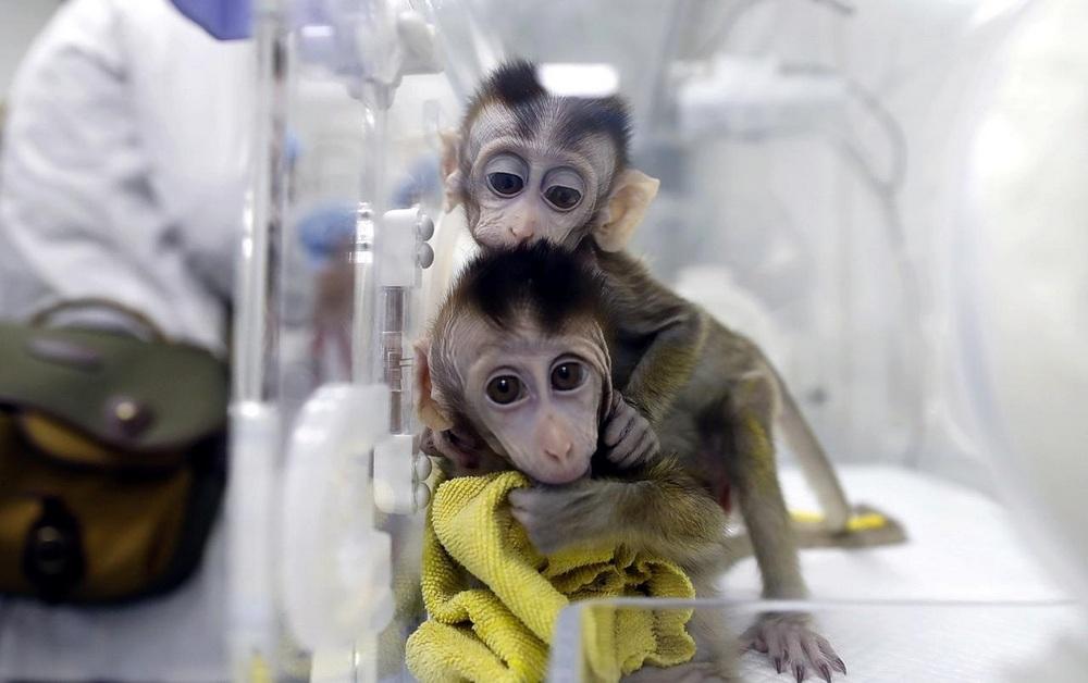 Macacos rhesus são usados em experimentos em laboratório por sua fisiologia, a mais próxima da humana.