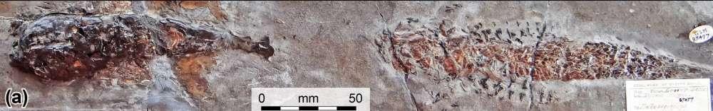 (Fonte: Malcom Hart/Proceedings of the Geologists' Association/Reprodução)