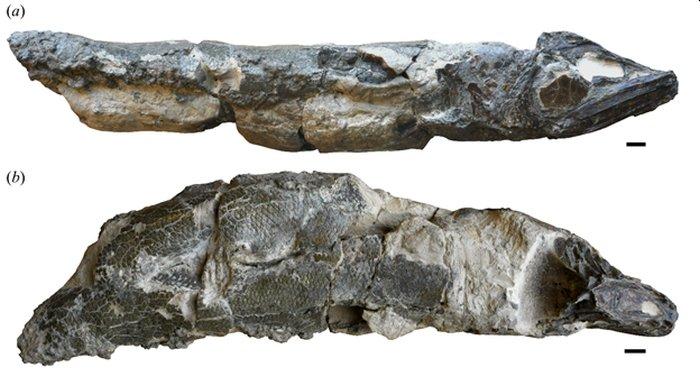 Fóssil do Clupeopsis straeleni (Fonte: Capobianco et al./Reprodução)