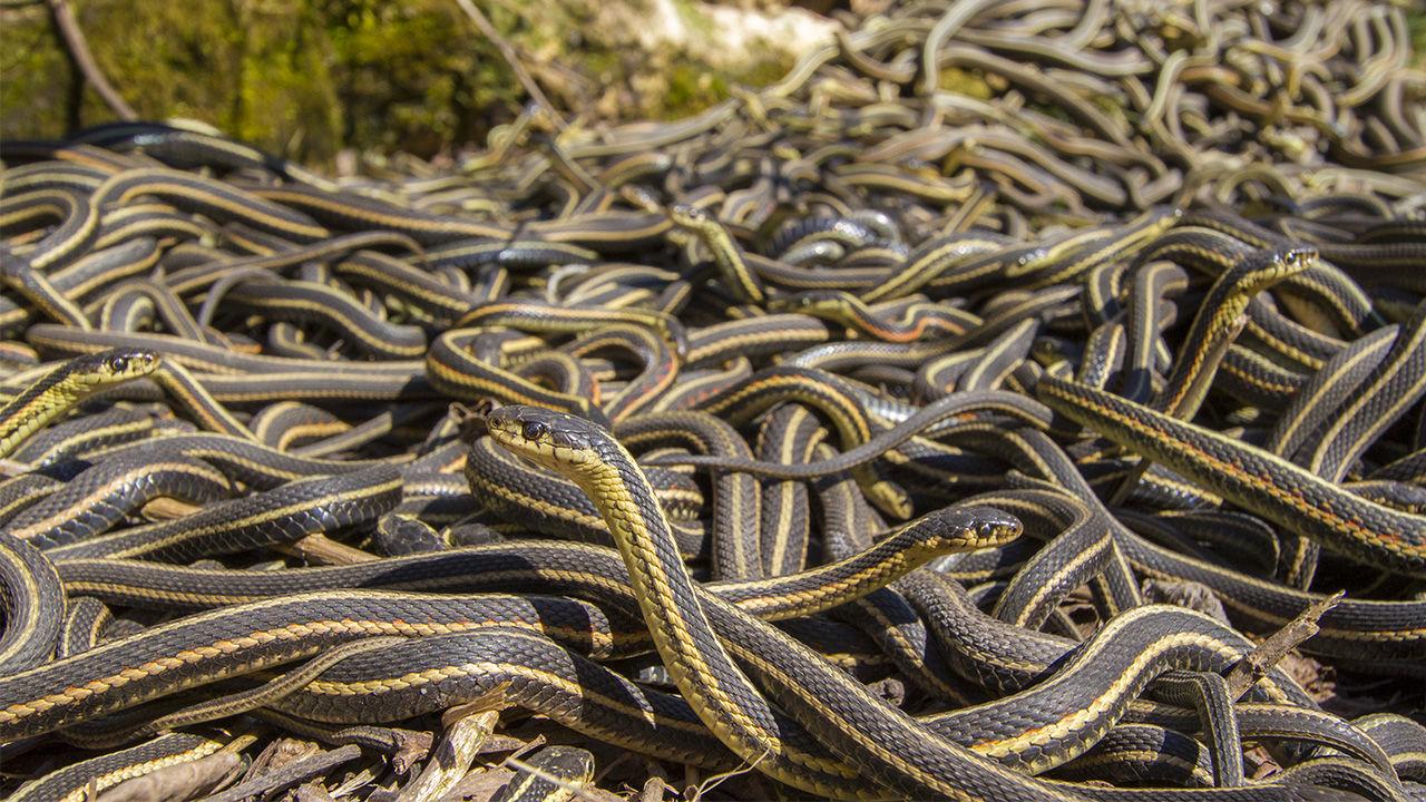 """Estudo mostra que cobras são sociáveis e formam grupos de """"amigas"""""""