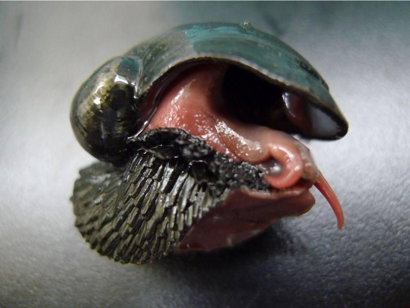 Caramujo de ferro intriga pesquisadores por sua proteção exótica. Fonte: Facebook / Reprodução