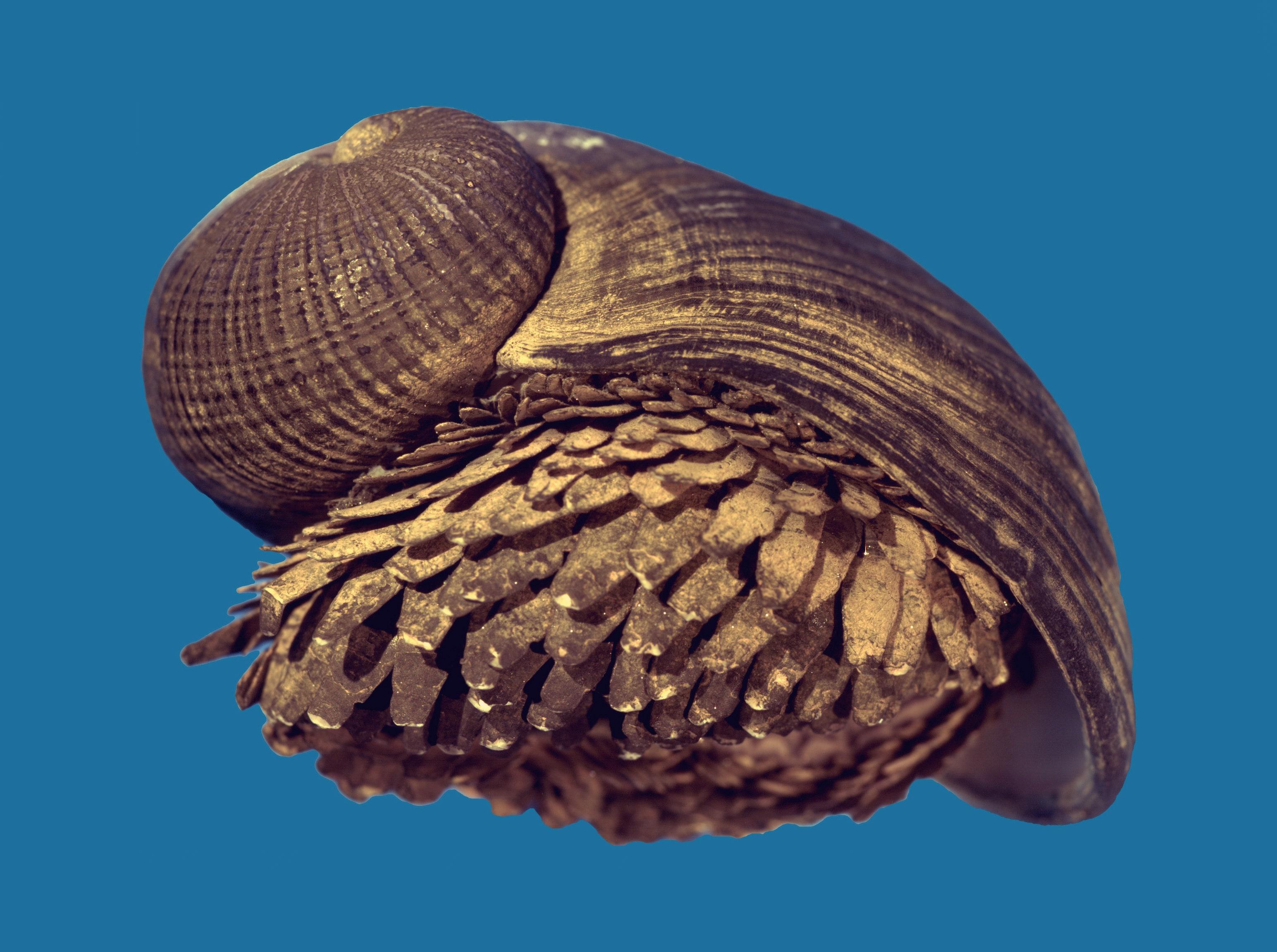 O caramujo de ferro é o único animal que possui uma proteção de escamas feitas de ferro. Fonte: Twitter / Reprodução