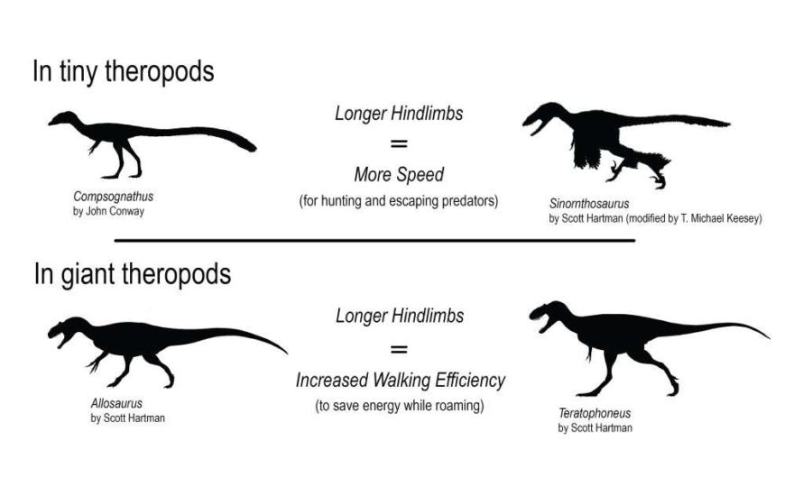 Na comparação entre os diferentes terópodes, os menores são mais beneficiados pelas pernas longas