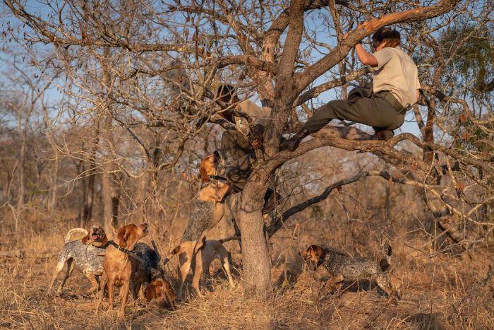 Cachorros treinados salvaram cerca de 45 rinocerontes das mãos de caçadores na África do Sul. Fonte: Caters / Divulgação