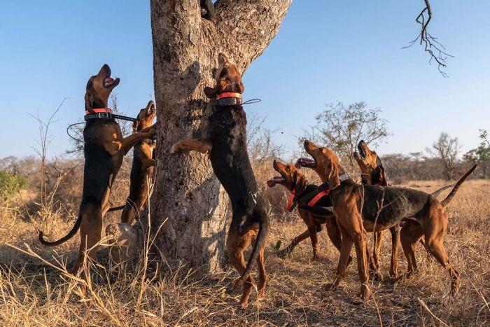 Cachorros de diferentes raças podem ser treinados para proteger a vida selvagem. Fonte: Caters / Divulgação
