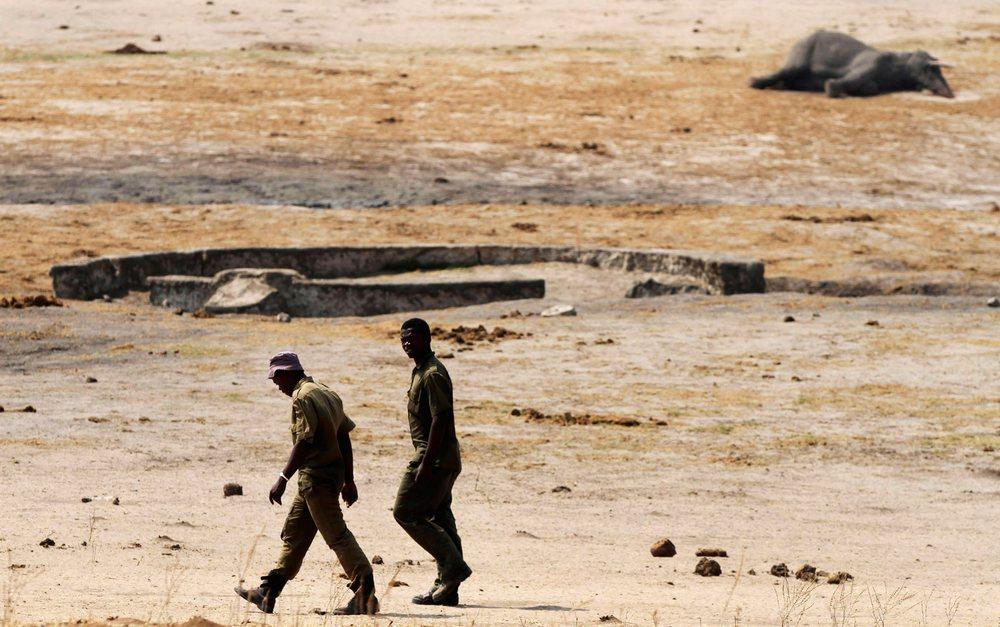 Caçadores de marfim têm matado elefantes envenenando os poços onde esses e outros animais bebem água.