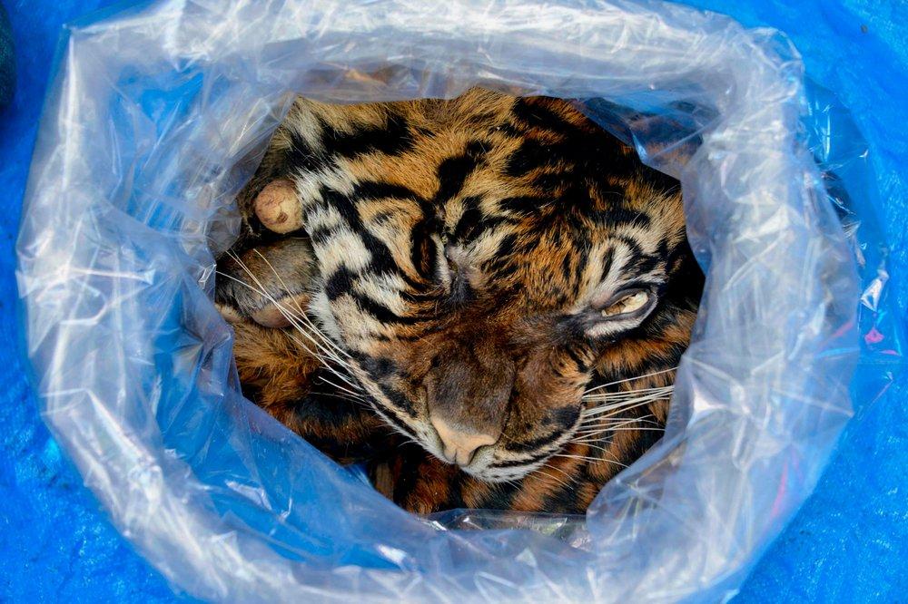 A pele de um tigre de Sumatra, criticamente ameaçado de extinção, apreendida pela polícia indonésia quando era vendida no mercado negro, em janeiro.
