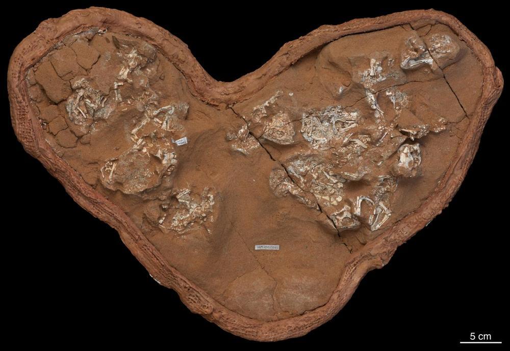 Os bebês fósseis de Protoceratops provavelmente morreram dentro de ovos de cascas moles.