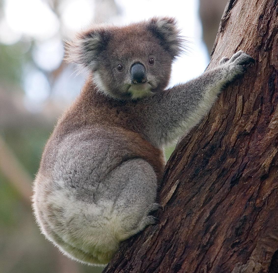 Coalas, assim como os cangurus, são considerados animais símbolos da Austrália. (Fonte: Wikipedia)